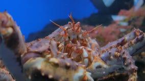 Ciérrese encima del tiro de la cabeza del cangrejo de araña japonés gigante metrajes
