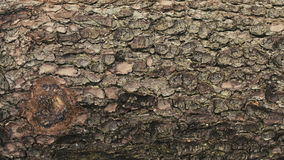 Ciérrese encima del tiro de la corteza de árbol Epopeya roja almacen de video