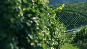 Ciérrese encima del tiro de la diapositiva de las hojas perfectas en el wineyard que son se encienden para arriba almacen de metraje de vídeo
