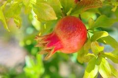 Ciérrese encima del tiro de la granada que madura en un granada-árbol - Croacia, isla Brac foto de archivo