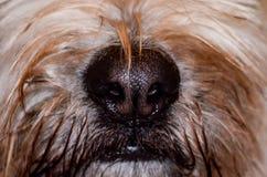 Ciérrese encima del tiro de la nariz mojada del perro Foto de archivo
