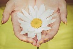 Ciérrese encima del tiro de las manos femeninas que sostienen una manzanilla blanca grande fotos de archivo libres de regalías
