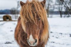 Ciérrese encima del tiro de los ojos de un caballo melado que mira la cámara Foto de archivo