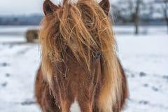 Ciérrese encima del tiro de los ojos de un caballo melado que mira la cámara Imágenes de archivo libres de regalías