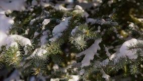 Ciérrese encima del tiro del árbol de abeto nevado en el cual la nieve blanca como la nieve miente almacen de metraje de vídeo