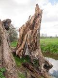 Ciérrese encima del tiro del árbol de madera derribado A Fotos de archivo