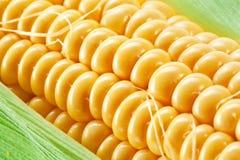 Ciérrese encima del tiro del maíz. Imagenes de archivo