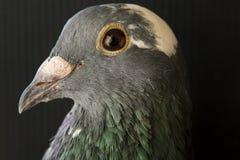 Ciérrese encima del tiro principal hermoso de la vista lateral del BI de la paloma que compite con de la velocidad Fotos de archivo libres de regalías