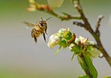 Ciérrese encima del vuelo de Honey Bee hacia las floraciones del arándano Imagen de archivo
