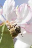Ciérrese para arriba, cara del ` s de la abeja Fotografía de archivo