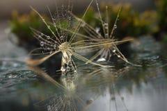 Ciérrese para arriba con el diente de león marchito, gotas de lluvia y reflexiones Fotos de archivo libres de regalías