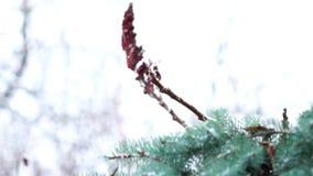 Ciérrese para arriba de árbol de abeto del verde de la rama en la nieve almacen de metraje de vídeo