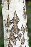Ciérrese para arriba de árbol de abedul. Foto de archivo libre de regalías