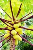 Ciérrese para arriba de árbol de papaya Imágenes de archivo libres de regalías