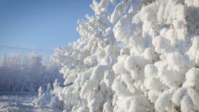 Ciérrese para arriba de árbol de pino nevado con nieve almacen de metraje de vídeo