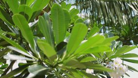 Ciérrese para arriba de árbol del frangipani del plumeria en el jardín Isla tropical de Koh Samui, Tailandia 3840x2160 almacen de metraje de vídeo