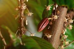Ciérrese para arriba de árbol floreciente del cacao Foto de archivo libre de regalías
