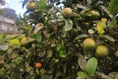 Ciérrese para arriba de árbol de limón con las cargas de todavía a los limones maduros imagenes de archivo