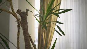 Ciérrese para arriba de árbol verde de la planta interior cerca de la pared y de la ventana blancas Decoraci?n interior del estil metrajes