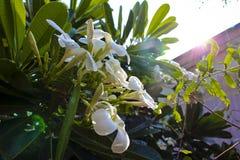 Ciérrese para arriba de árbol y de salida del sol de la flor del plumeria imagenes de archivo