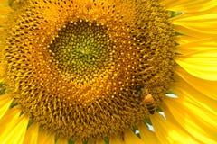 Ciérrese para arriba de abeja Foto de archivo