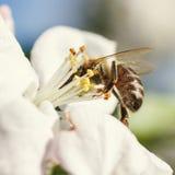Ciérrese para arriba de abeja de la miel en flores de cerezo Imagen de archivo