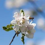 Ciérrese para arriba de abeja de la miel en flores de cerezo Imagenes de archivo