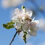 Ciérrese para arriba de abeja de la miel en flores de cerezo Imágenes de archivo libres de regalías