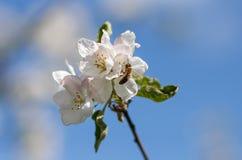 Ciérrese para arriba de abeja de la miel en flores de cerezo Fotografía de archivo
