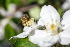 Ciérrese para arriba de abeja de la miel en flores de cerezo Fotos de archivo libres de regalías