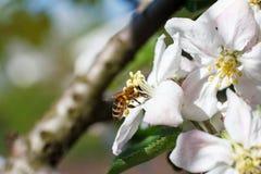 Ciérrese para arriba de abeja de la miel en flores de cerezo Foto de archivo libre de regalías