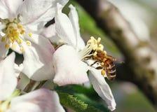 Ciérrese para arriba de abeja de la miel en flores de cerezo Imagen de archivo libre de regalías