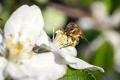 Ciérrese para arriba de abeja de la miel en flores de cerezo Fotos de archivo