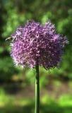 Ciérrese para arriba de abeja de la miel en la flor de la centaurea Imágenes de archivo libres de regalías