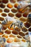 Ciérrese para arriba de abeja en colmena Fotos de archivo