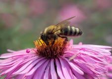 Abeja en crisantemo Fotografía de archivo libre de regalías