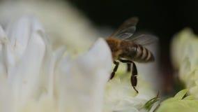 Ciérrese para arriba de abeja en Daisy Flower, una abeja recoge a Nectar In The Daisy Flowers, abeja que poliniza una flor Movimi almacen de metraje de vídeo