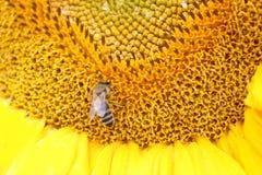 Ciérrese para arriba de abeja en el girasol Fotografía de archivo