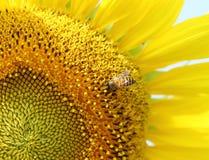 Ciérrese para arriba de abeja en el girasol Fotografía de archivo libre de regalías