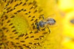 Ciérrese para arriba de abeja en el girasol Foto de archivo