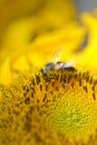 Ciérrese para arriba de abeja en el girasol Fotos de archivo libres de regalías