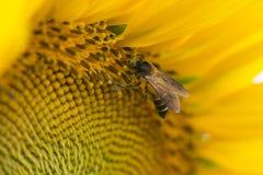 Ciérrese para arriba de abeja en el girasol Foto de archivo libre de regalías