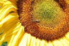 Ciérrese para arriba de abeja en el girasol Imágenes de archivo libres de regalías