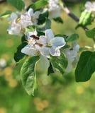 Ciérrese para arriba de abeja en la flor del manzano Imagen de archivo libre de regalías