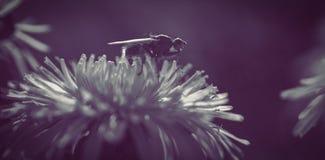 Ciérrese para arriba de abeja en la flor de la margarita Imagen de archivo libre de regalías