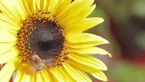Ciérrese para arriba de abeja en la miel rica de la cosecha del girasol almacen de video