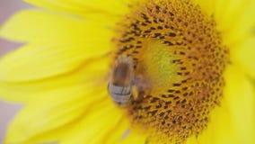 Ciérrese para arriba de abeja en la miel rica de la cosecha del girasol almacen de metraje de vídeo