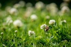 Ciérrese para arriba de abeja salvaje al lado de una flor del trébol Fotos de archivo libres de regalías