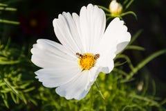 Ciérrese para arriba de abeja y de señora Imagen de archivo