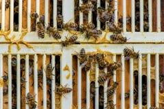 Ciérrese para arriba de abejas en el panal en colmenar y una parrilla del excluder de la reina Fotos de archivo libres de regalías